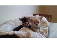 Chihuahua + kc registerd £850