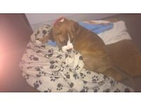 5month old boxer pup very good natured dad is kc registered really good with children and other dogs