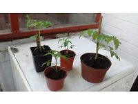 Four Gardeners Delight plants free - buyer must collect