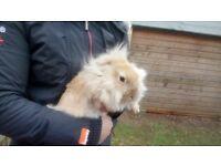 £10 baby rabbits extra fluffy