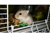 Russian Dwarf Hamsters - 4 weeks old and ready to go. Lovely nature and sooo cute.