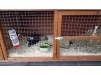 2 male guinea pigs Inc hutch and cover