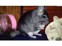 Chinchillas : Male 9-11 months old (the possibility of buying a cage)+accessories