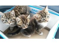 Gorgeous Bengal Siberian kittens for sale