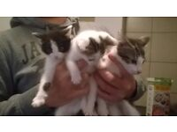 3 beautiful kittens ready to go now