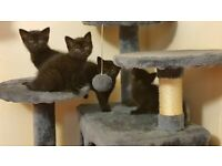 Beautiful Black British Shorthair Cross Kittens for Sale