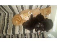 Gorgeous BSH x Ragdoll x kittens ***Ready 22nd October***
