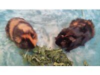Pair of Male Guinea Pigs age 13 weeks