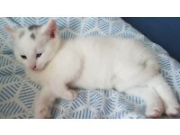 Beautiful Turkish Angora Kitten for sale