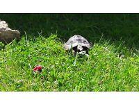 Missing tortoise in North Cheltenham
