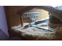 Adult corn snake needs new home