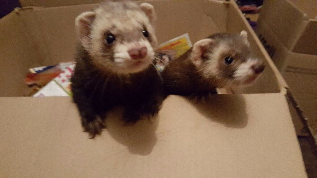 3 ferrets and double hutch.