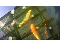 2 x 24 inch Koi for Sale