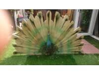 Peacock,bespoke garden feature
