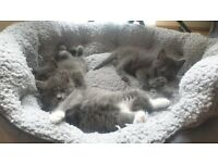 We left only 2 fluffy Ragdoll x babies