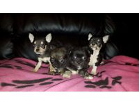 Chihuahua Puppies 8 weeks old