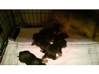 chameleon yorkshire terrier puppies 3 girls 4 boys parents shown deposits taken now