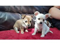 Chihuahua - Yorkshire terrier puppies READY TO LEAVE.
