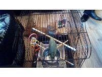 parrotlet for sale