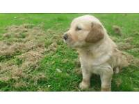 Golden retriever puppy looking for a loving home