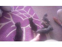 Kittens for sale. Grey.. Black.. Tabby