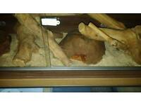 Verius reptiles for sale