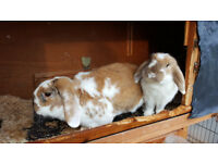 2 Male Rabbits (Both Neutered) 2 Years old and Hutch for Sale
