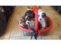 5 Jack Russel Pups for sale