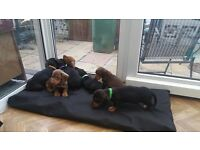 Dachshund puppies wormed neurtured first injectiono and microchipped. Ready for thier new homes