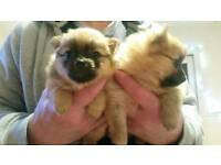 Full Pomeranian female pups for sale
