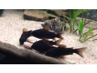 Corydoras for sale Pepper | Bronze | Albino | Panda and more tropical fish