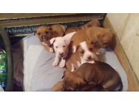Gorgeous staffie cross puppies for sale