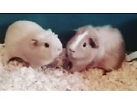2 male guinea pigs with cage and accessories