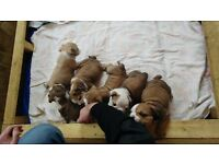 English bulldog puppies 5 girls 2 boys full kc reg