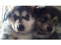 Gorgeous Alaskan Malamute X Puppies