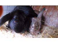 Pair of male rabbits