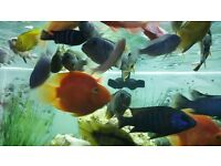 African And South American Cichlids For Sale. Around 35 in total