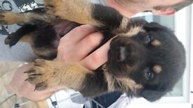 German Shepherd x Rottweiler