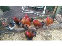 7 bantam chickens (cockerels) 2 pounds each or 10 pounds for all