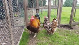 A Pair of Large Jubilee Orpingtons (Cock and 1 Hen for sale).