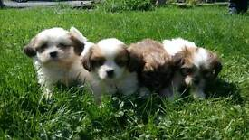 Shihtzu x Yorkshire terrier puppies yorkie sues