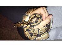 Male royal python