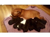 (Staffy) Staffordshire Bull terrier pup's for sale