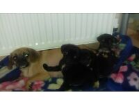 3 gorgeous 3/4 pug puppies for sale