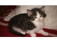 Fluffy Siberian - Bengal kitten