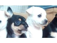 Gorgeous Male Pedigree Chihuahuas - 1 left - ready to take home today