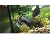 2 angelfish 5-6inch and 2-3inch