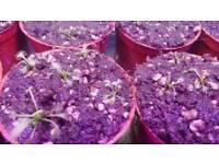 Sundews (carnivorous plants)