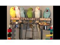 Beautiful colours 12wks ring neck Talking Parrot