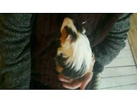 6 month male guinea pigs to great home